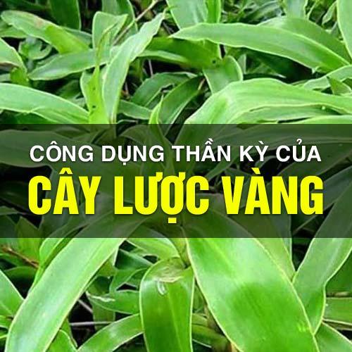 cong-dung-cua-cay-luoc-vang-1